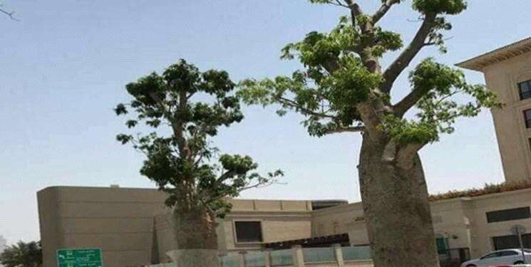 غارت طبیعت یمن به سبک امارات؛ درختان سقطری در خیابان ها و منازل ابوظبی